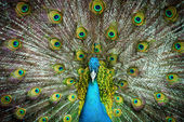 Peacock closeup — Stock Photo