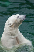 The polar bear floats on his back — Stok fotoğraf