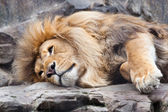 Lion resting on rocks — Stock Photo