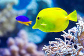 Yellow aquarium fish — Stock Photo