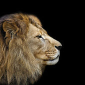 Lion's head in profile — Stock Photo