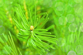 Fir needles — Stock Photo