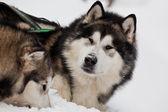 Perros en primer plano de la nieve — Foto de Stock