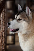 Alaskan Malamute dog portrait — Stock Photo