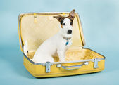 Jack Russel In Suitcase — Stock Photo