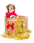 Christmas Pup — Stockfoto