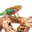 Chameleon — Stock Photo #49860375