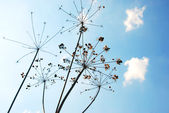 Dry grass on a wallpaper of blue sky — Stock Photo