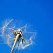 Dandelion. A spring flower on a background of the blue sky — Stock Photo