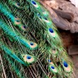 Background of peacock feathers — Stock Photo