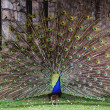 The beauty and splendor of the peacock — Stock Photo