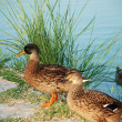 Two duck standing near water — Stock Photo #42706627