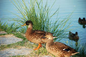 Two duck standing near water — Stock Photo