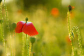Red Poppie Flower — Stock Photo