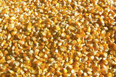 Corn grains — Stock Photo