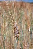 Single wheat over field — Stock Photo
