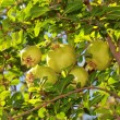 A bunch of pomegranates on tree with green leaves — Stock Photo