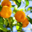 Ripe tangerines on a tree branch — Stock Photo #51521261