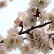 Stock Photo: Apricot flowering.
