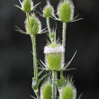 Stock Photo: Prickle flowering.