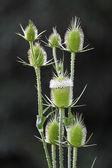 Prickle flowering. — Stock Photo