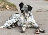 Spotty dog. — Stock Photo