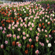 Colorful tulips field in spring time — Stock Photo #43079621