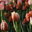 Colorful tulips field in spring time — Stock Photo #43079639