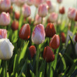 Colorful tulips field in spring time — Stock Photo #43082527