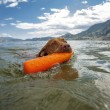Dog retrieving dummy from water — Stock Photo