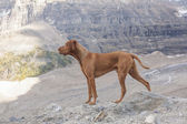 Pure breed intact male dog — Stock Photo