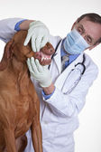 Veterinarian checking dogs teeth — Stock Photo
