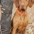 Pointer sitting at hunters heel — Stock Photo #13717555
