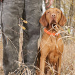 Stock Photo: Hunting dog at heel