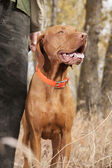 Hunting dog at heel — Stock Photo