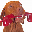 Dog with red phone - Stock Photo