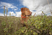 Hunting dog working in field — Foto Stock