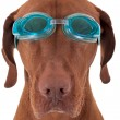 Golden dog with swimming goggles — Stock Photo #19959009