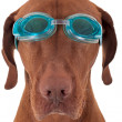 Golden dog with swimming goggles - Foto de Stock