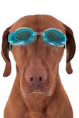 Golden dog with swimming goggles — Stock Photo