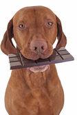 çikolata yiyen köpek — Stok fotoğraf