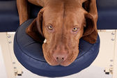 Rusty dog laying n massage table — Stock Photo