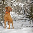 Dog in winter scenery — Stock Photo