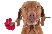 Ils ont manqué de roses — Photo
