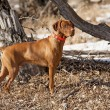 Hunting dog in action — Stock Photo #22201411