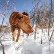 Dog searchng in the snow — Stock Photo