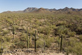 Desert with saguaro cactuses — Stockfoto