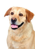 Beautiful Labrador retriever adult — Stok fotoğraf
