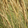 Grasses — Stock Photo #12880647