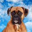 Boxer breed dog — Stock Photo